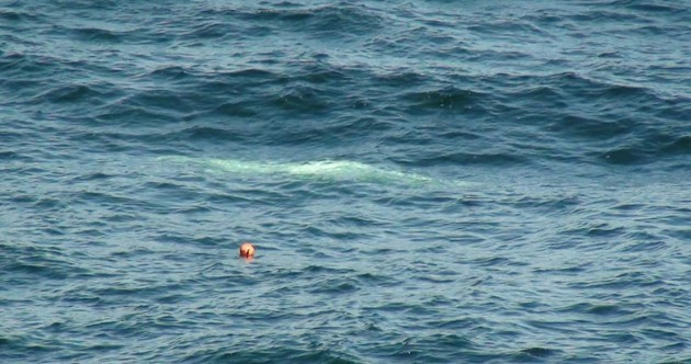 First ever pictures of Arctic beluga whale in Irish waters (well, it has been a bad summer)