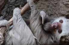 WATCH: This tiny newborn sloth and its proud mum
