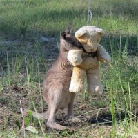 This adorable picture of an orphaned kangaroo and his teddy is going viral