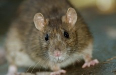 Rats disturbed by Luas works are relocating to Dublin city businesses