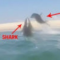 WATCH: This seal had a very lucky escape from a shark
