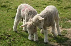16 lambs with 'poisonous meat' stolen from Tyrone farm