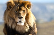 Guide mauled to death at park where Cecil the lion was killed