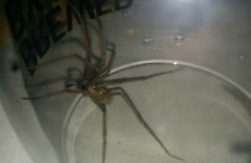 Here's why massive spiders are invading Irish homes right now