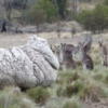 Before and after: The wooliest sheep in the world has just been sheared