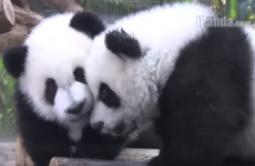 Watch the world's only panda triplets play together