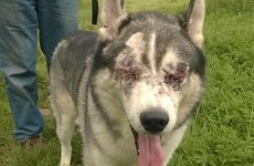 Vets remove dog's eyes after he was shot with a pellet gun