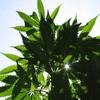 One man arrested over 277kg cannabis seizure