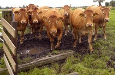 Cowpatgate: Cork farmers told to clean up after their cattle