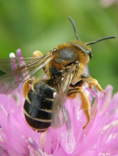 Ireland's bees are in danger, but here's the plan that could save them