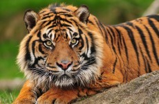 Woman dies after being attacked by tiger in New Zealand zoo