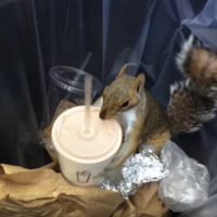 Move over Pizza Rat - Milkshake Squirrel is the hero the internet actually needs