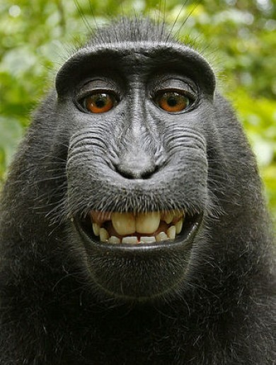 Photographer back in court over monkey selfie