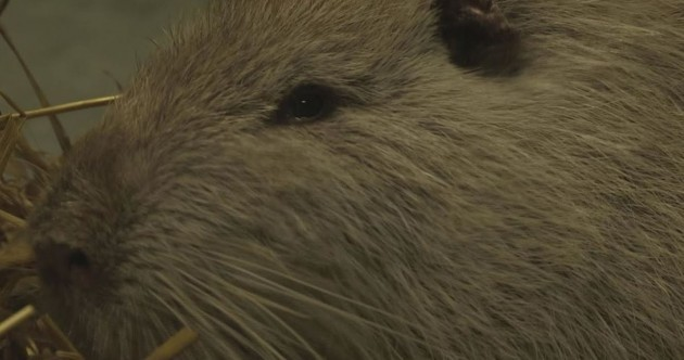 This three-foot swamp rat found in a Tipperary river needs a new home