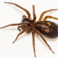 Ireland's most venomous spider is on the increase and is heading indoors out of the cold