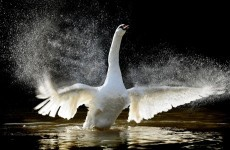 PHOTOS: Swan flies through woman's windscreen 'like a bomb'
