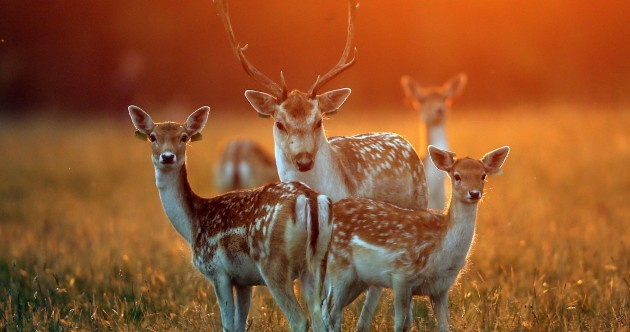 Check out these 6 beautiful photos of deer chilling in the Phoenix Park this afternoon