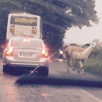 That loose llama in Offaly still hasn't been tracked down