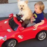 Watch a dog drive a little boy around in a toy car