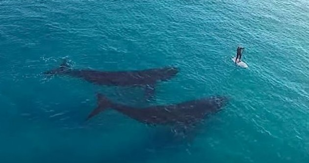 Incredible drone footage shows paddle-boarder meeting up with two friendly whales