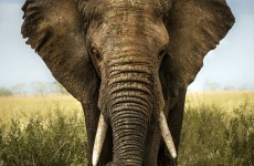 A hunter has shot the biggest elephant killed in Africa for almost 30 years