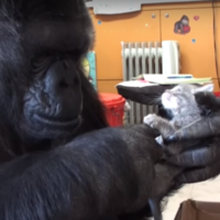 This gorilla and a kitten becoming best friends is beyond adorable