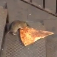 'It's like the Burning Man of rats': Have you heard about the rat crisis in New York?