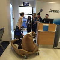 This very fat dog flew first class on a plane, and everyone is confused