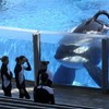 SeaWorld to phase out killer whale shows as protests grow