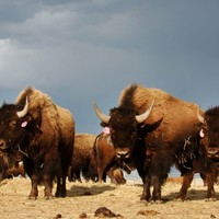 1,000 bison might be killed at Yellowstone Park this winter