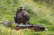 Eagles are 'facing starvation' on the hills of Donegal