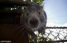 Do we really need to worry about a plague of giant rats this winter?