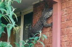 A man found this 5ft lizard hanging out on the side of his house