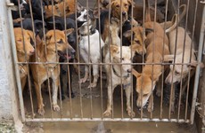 Ten Cambodians die after eating dog meat and drinking rice wine