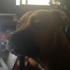 The internet has fallen in love with this puppy that doesn't know how to howl