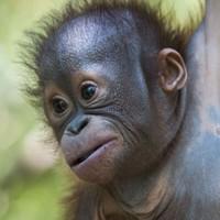 Baby orangutan found in urine soaked box now attending 'pre-school'