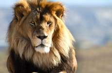 'Win a lion' and kill it if you want to: Conservation raffle sparks criticism