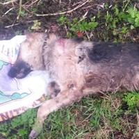 German Shepherd shot in head and dumped in ditch
