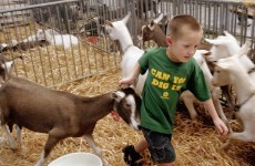 Colorado disqualifies champion goat over failed drug test