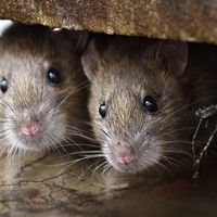 Flooding drives rats out of their homes, and there is a hidden danger to worry about