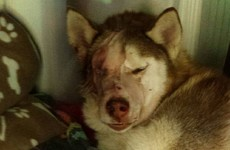Husky found in garden with mysterious injuries loses eye