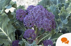 This purple broccoli goes down a treat with parmesan and bread crumbs