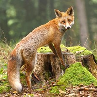 Wife of local councillor receives 20 stitches to face and body after being mauled by fox