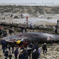 Four huge sperm whales have washed up dead on an English beach