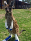 A team of Australian vets have skipped a bushfire evacuation to care for the local wildlife