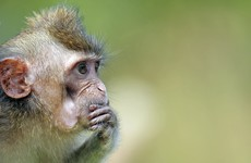 Scientists have created monkeys who have autism