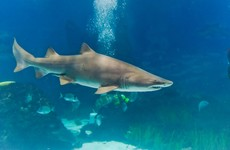 A shark swallowed another shark in an aquarium