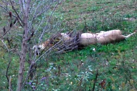 In a Tuesday Oct. 18, 2011 photo, a dead lion lies by the fence on Terry Thompson's farm near Zanesville, Ohio.