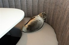 Starving sea lion rescued after it ends up in high-end restaurant booth