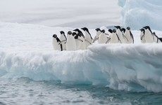 An iceberg twice the size of Limerick city has killed 150,000 penguins